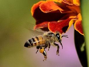 Honigbiene und Hummel