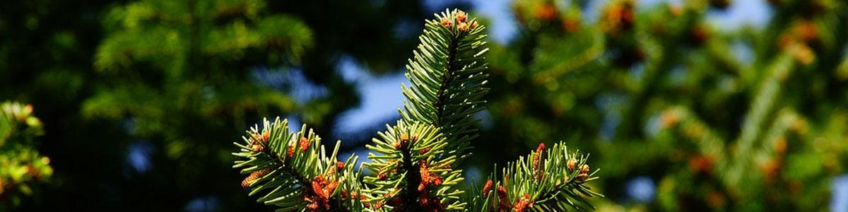 10 dunkelgelbgrüne Tannen 110 mm hoch Nadelbäume Fichten
